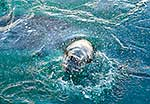 Surfacing Leopard Seal male