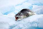 Agressive Leopard seal on ice shelf