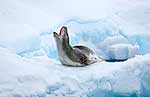 Yawning leopard seal on ice shelf