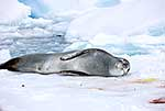 Leopard seal resting on ice