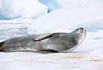 Leopard seal lying in poo