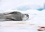 Leopard seal lying in excrement