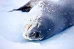 Sleeping Leopard Seal