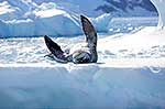 Leopard Seal having a stretch