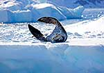 Stretching out flippers on ice