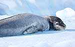 Juvenile male Leopard Seal