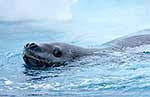 Close up of Leopard Seal swimming