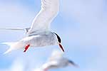 Adult Antarctic Tern in flight