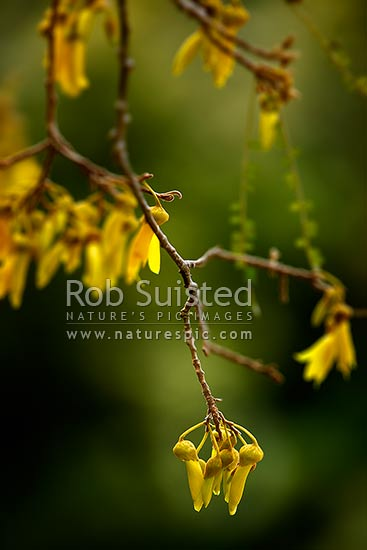 Kowhai flowers and branches hanging (Sophora sp.: Fabaceae), New Zealand (NZ) stock photo.