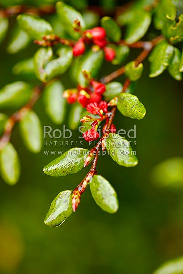 Black Beech tree flowers, leaf and leaves (Fuscospora solandri Syn. Nothofagus solandri)). Mast flowering species. Tawhairauriki, Tongariro National Park, New Zealand (NZ) stock photo.