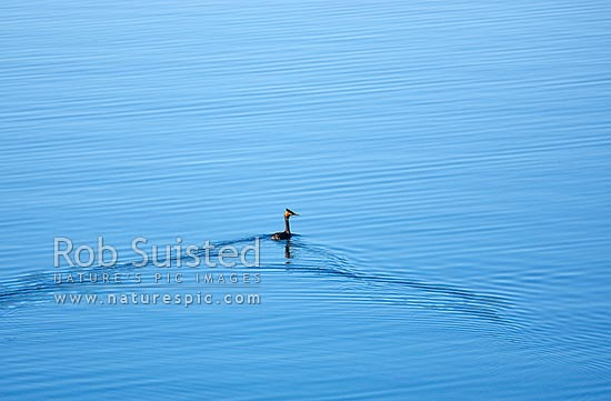 Australasian crested grebe or kamana (Podiceps cristatus australis) on still lake, New Zealand (NZ) stock photo.