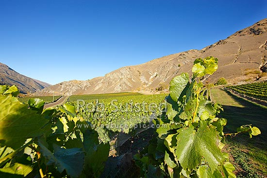 Rows of grapes on grapevines next to Chard Road, Kawarau Gorge, Central Otago. Chard Farm winery and vineyard, Gibbston, Queenstown Lakes District, Otago Region, New Zealand (NZ) stock photo.