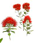 Native Pohutukawa Flower