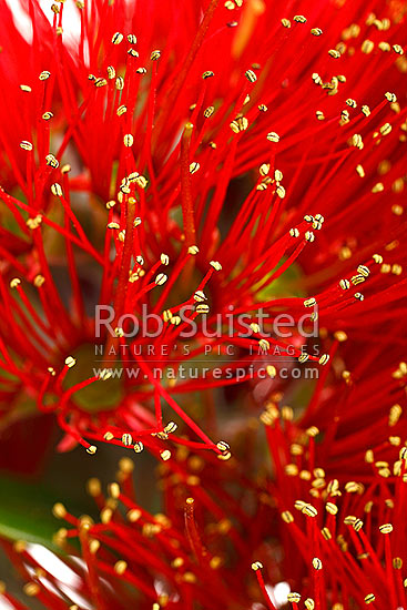 Red Pohutukawa flowers (Myrtaceae - Metrosideros excelsa), 'New Zealand Christmas Tree'. White background, New Zealand (NZ) stock photo.