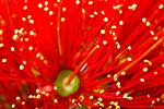 Closeup of Pohutukawa flower