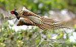 Pheasant taking flight