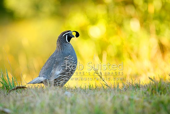California Quail (Lophortyx californicus) - male cock bird, New Zealand (NZ) stock photo.