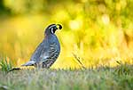 Male Californian Quail