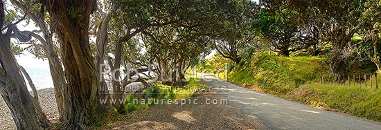 Country road passing under shady coastal pohutukawa tree forest and through farmland on the Coromandel Peninsula. Port Jackson Road. Panorama, Cape Colville, Thames-Coromandel District, Waikato Region, New Zealand (NZ) stock photo.