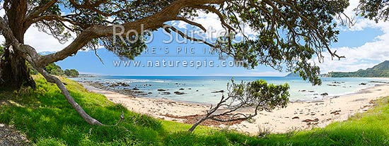Gnarled Pohutukawa tree on isolated beach during summer