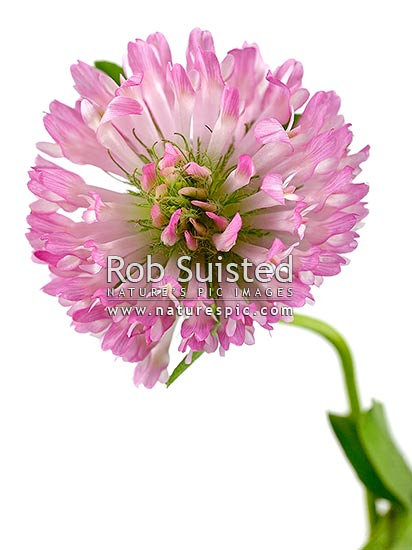Red clover flowers grouped in a dense inflorescence (Trifolium pratense, Fabaceae). Pasture flower. Clear white background, New Zealand (NZ) stock photo.