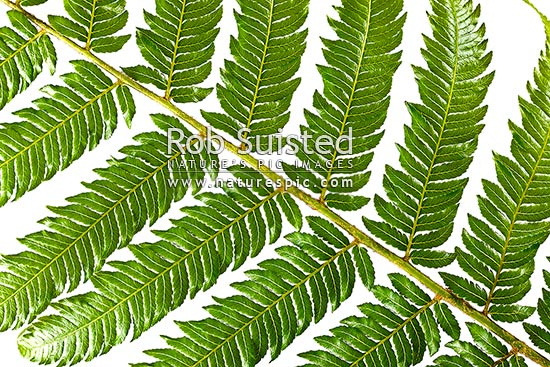 Silver fern or Ponga frond macro closeup of green upper surface. Silver Tree Fern species. Showing primary and secondary pinnae. Clear white background Cyathea dealbata, New Zealand (NZ) stock photo.