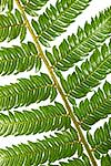 Silver tree fern pinnae