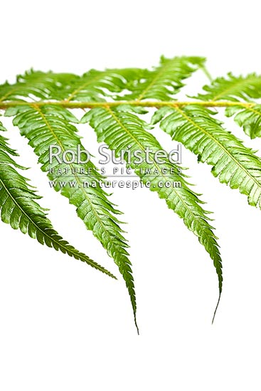Silver fern or Ponga frond macro closeup of green upper surface. Silver Tree Fern species. Showing primary and secondary pinnae. Clear white background. Cyathea dealbata, New Zealand (NZ) stock photo.