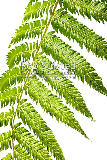 Silver fern or Ponga frond macro closeup of green upper surface. Silver Tree Fern species. Showing primary and secondary pinnae. Clear white background, New Zealand (NZ) stock photo.