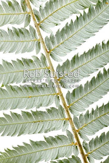 Silver fern or Ponga frond macro closeup of silver under surface. Silver Tree Fern species. Showing primary and secondary pinnae. Clear white background, New Zealand (NZ) stock photo.