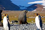 Antarctic Fur Seal on beach