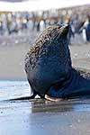 Old Antarctic Fur seal on beach