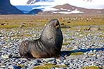 Wounded Antarctic Fur Seal bull
