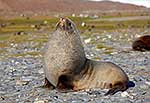 Healthy Antarctic Fur Seal bull