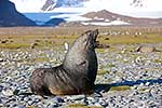 Wounded male Antarctic Fur Seal