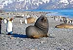 Fur seal resting amongst penguins