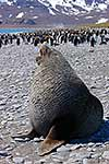 Antarctic Fur Seal bull on beach