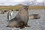 Healthy male Antarctic Fur Seal
