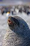 Antarctic Fur Seal bull