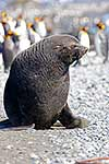 Mature Antarctic Fur seal on beach