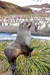 Young fur seal resting on mound