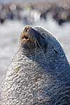 Male Antarctic Fur Seal
