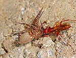 Golden Hunter Wasp with spider