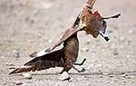 Skuas fighting over dead chick