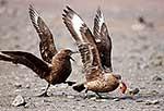 Skua birds fighting over dead chick