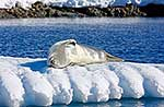 Crabeater seal resting on pack ice