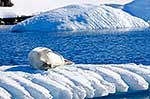 Female Crabeater Seal on pack ice