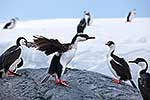 Imperial shag drying wings