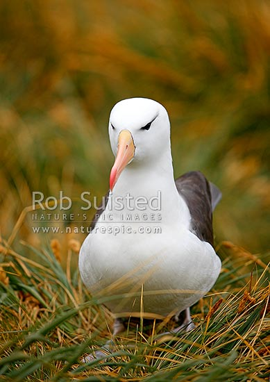 Black-browed Albatross or Black-browed Mollymawk (Thalassarche melanophrys, Diomedeidae), Westpoint Island, Falkland Islands stock photo.
