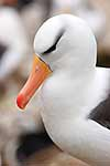 Close up of Black-Browed Albatross